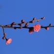 1月中旬の砧公園(2)ハクバイ、コウバイ、シジュウカラ、フジバカマ