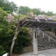吉祥寺の藤の花
