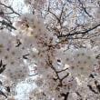 桜咲く*あまおうソフト