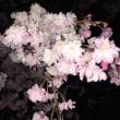 ラスト夜桜