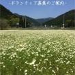5/18φ地域を元気に 姫路 カモミール栽培φ  真夏のような暑さ