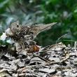 オオトラツグミの木の葉(落ち葉、枯れ葉)返し