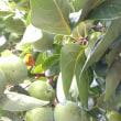 果実の成長