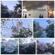 駅前桜VS夙川桜!(╹◡╹)