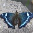 ルリタテハ蝶が飛んでいます