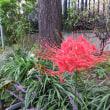 9月19日 ヒガンバナ~紅花と、珍しい白花