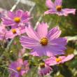 ホトトギスの花と赤紫のコスモスの花