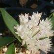 ポリキシナとスノードロップの花..