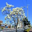早春デジスケッチ 2 ~平野の白木蓮とコブシ