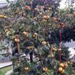◆柿が鈴なり。