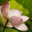 大船フラワーセンター蓮の花