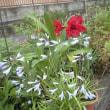 季節外れ?に咲くアマリリス