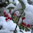 雪の朝(万両に雪)
