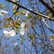 山紀行(春を迎えた裏丹沢 ツツジ咲く風巻の頭から袖平山稜線 2018.4.20)