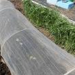 トウモロコシ/枝豆等ポット播き