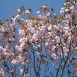 何かとお騒がせの日大ですが、スクールカラーは桜色(ピンク)ではなく緋色!我が家の庭にも桜…。