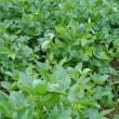 山形置賜地区大豆生育状況