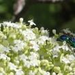 オオセイボウ~美しき寄生バチ~