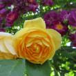 2017年の黄色系のバラをほんの一部