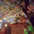 大阪造幣局桜の通り抜け2018 今年の花「大提灯」初日で既に散り始め