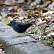 2/24探鳥記録写真-2(頓田貯水池の鳥たち:ホオジロガモ、クロジ♂、ルリビタキ♂ほか)