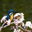 『春の小川』 桜に