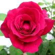 バラのシーズンがそろそろ到来!
