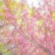 「輝く八重桜」 いわき 高野花見山にて撮影! 多重露光で作画する