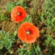 夏野菜の苗を購入・サツマイモベニハルカの芋苗