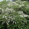 樹木ウォッチング冬から夏へ319サワフタギ1