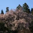 ひともっこ山 花便り 4/21撮影