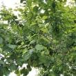 梅の実は成長中です!