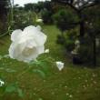 暴風雨の中です。バラのアイスバーグ