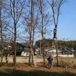 おうちえんの子供達が麦畑に、しいたけ用の木を伐採