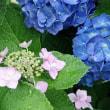 絵手紙:水無月・紫陽花