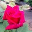 薔薇のこと2