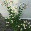 河津桜のサクランボ