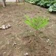 コンニャクの木