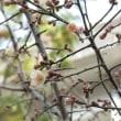 小学校の梅の花が