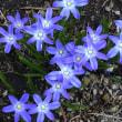 花ニラ…イフェイオンが咲きはじめました!