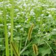ひねもす花照る常陸秋蕎麦畑
