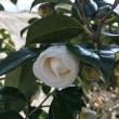 杏子の開花