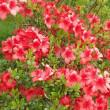 控除や社保負担を見極めて パート勤務のイデコ加入/イチジクの苗の植え替え。花水木、御衣黄桜は満開、久留米つつじも開花。