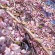 今年も「三春の滝桜」はキレイでした!