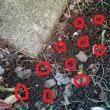 彼岸花の球根を植えました♪