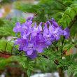 ジャカランダの咲く熱海
