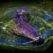 白鳥庭園の鯉