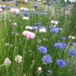 「おはようの花」 ヤグルマギク 5月