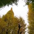 今日の外苑いちょう並木