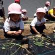 ぴんく・すみれ 2歳児 お誕生日会☆芋の苗植え